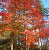 秋色の森で深紅に染まる楓