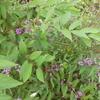 庭の千草 ~秋色の小紫~