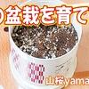 【栽培】桜の盆栽を育てる③