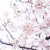 Setagaya Karasuyama Path - 世田谷 烏山緑道の春