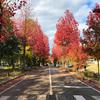 【金沢】紅葉が綺麗な「アメリカ楓通り」は金沢のおすすめ散歩スポット