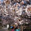 近所の桜を見てきた