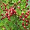 ☆新商品入荷☆真紅の花と紅葉が楽しめる花木「チチブドウダンツツジ」など