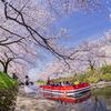大活躍の遊覧船:今日の松川べり