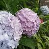 ちんたらブックカフェ&ゆるゆるコテージ  紫陽花の花盛り