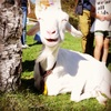ヤギが笑う?清里まきば公園《子供と犬と遊ぶ旅》山梨県 北杜市
