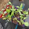 キャベツの植え付けしたよ!