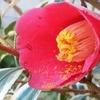 斑入り葉の椿