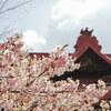 宗吾霊堂で満開の河津桜を撮ってきました@千葉県成田市 2017
