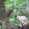 石神井公園の野鳥 オオタカ他 2021年6月6日
