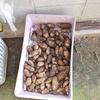ジャガイモの収穫は体力勝負