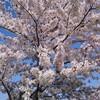帰ってきた桜2018