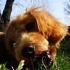 春になったら毛もカット|小型犬のトリミング3回目