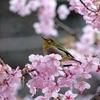 河津桜とメジロ 2 2015 3月