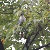 チルチルとミチルとジィちゃんと探鳥・善福寺公園の野鳥/2020-9-21