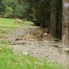 オオカミに会える公園 Alpha Animal Park【フランス観光】