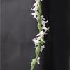 Spiranthes sinensis var. sinensis?