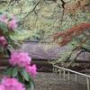 室生寺のシャクナゲが咲きました!