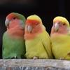 コザクラインコ・ボタンインコの種類や特長、飼育方法を解説