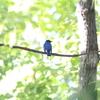オオルリ・キビタキ・サンコウチョウ・ヤマガラ(大阪城野鳥探鳥 20200912 5:15-12:50)