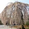 関西桜めぐり③ 4/1 京都高台寺の枝垂れ桜へ