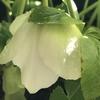 今冬は開花の早い植物たち(クリスマスローズ、ニゲラ・サティバ、水仙、ヒヤシンス)、唐辛子、ゴールデンベリーの収穫