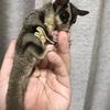 エキゾチックアニマル・フクロモモンガを飼う前に、飼い始めてから直ぐに知っておいたほうがいいと思う事などの経験談