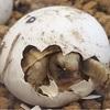 ギリシャリクガメ 9/30エキゾチックレプタイルエキスポ 出品生体