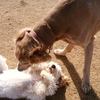犬の発情周期