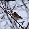 吹雪の合間で小鳥たちは活動中