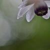 レンゲショウマ咲く赤城自然園