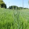 麦畑に寝転がって ~ラボ2畑の麦と空