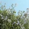 【LUMIX S5】カラーフィルム風でノスタルジックな色合いの「L.クラシックネオ」で桜を撮影してみた。