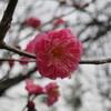 紅梅の蕾の中の花一つ