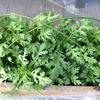 シュンギク(春菊)栽培・・・プランター栽培 (冬の種蒔きは発芽気温に注意して)・・種蒔き、発芽、ミニビニールハウスの作り方、成長中、追肥、収穫