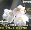 さくら咲く!熊本で開花発表