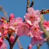 沖縄で桜開花