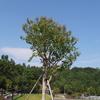 霊園風景 その90  「‥記念樹のお話」