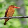 🦜野鳥の回【181】8泊の大遠征から戻りました!悲願のアカショウビン