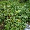 天気が悪いけど玉ねぎとジャガイモの収穫しました。