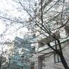 お茶の水までの散歩道での 桜たち