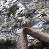 公園で定例撮影 [カワセミ][カイツブリ][カルガモ][シラン][フレンチラベンダー][フジ][ショウブ][モミジ][アオサギ]