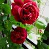 バラ、スヴニール ドゥ ドクター ジャーメイン、黒赤から紫に変化