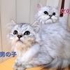 緊急!里親募集part2【チンチラペルシャ猫】※決定致しました!