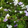 ニオイバンマツリの花 2012 9月
