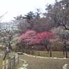「あかいくるま」で梅を見に行く