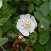 今週の植物(ノイバラ他)