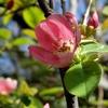 花梨の花 2014 春