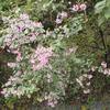 種をまいて、3年たって咲いたウンナンハギの花