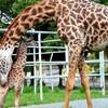 キリンの赤ちゃん熊本の動物園で誕生明るいニュースに心癒された